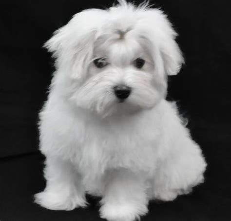 live puppies for sale maltese puppies for sale 1200 china live animals agricultural products
