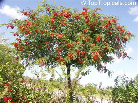 Tropical Tree Plants - sesbania punicea sesbania tripetii daubentonia tripetii rattle box tree chinese rattlebox