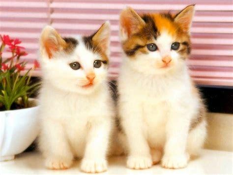 wallpaper kucing bergerak untuk pc kumpulan gambar kucing lucu imut kumpulan gambar