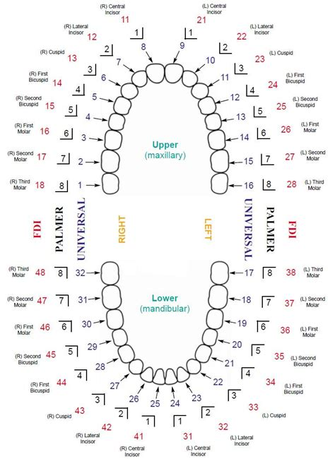 tooth diagram numbers updated dental tooth numbering chart with systems