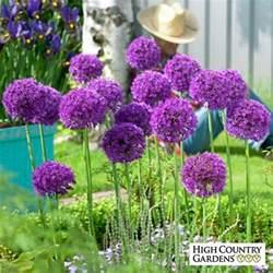allium aflatunense bulbs purple sensation allium