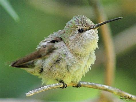 birds birds birds found in az birds pinterest