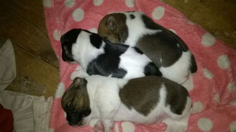 rochester puppies for sale puppies for sale rochester kent pets4homes