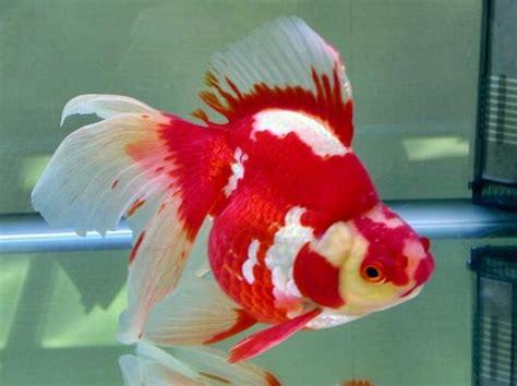 Pakan Ikan Koki Untuk Warna ikan hias mengenal ikan koki bibitikan net