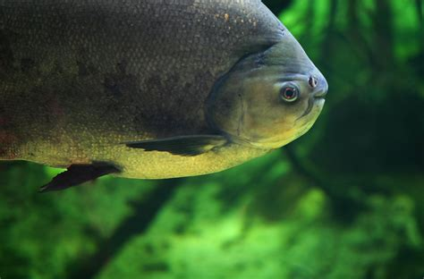 pacu fish on its way to the uk metro news