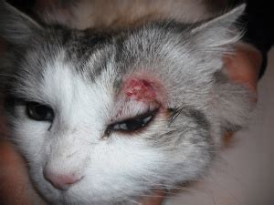 Pictures Of Brown Recluse Spider Bites On Cats