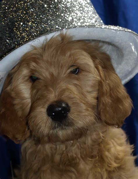 goldendoodle puppies seattle goldendoodle puppies for sale