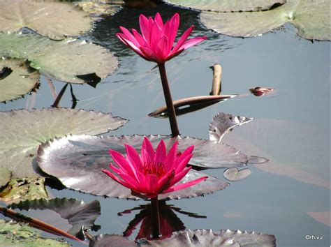 water lily flower with lion we our bangladesh white water or sada shapla is