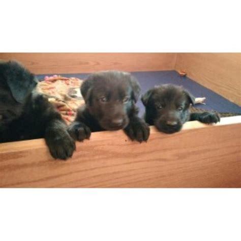 german shepherd puppies for sale in wisconsin german shepherd puppies and dogs for sale and adoption in wisconsin freedoglistings