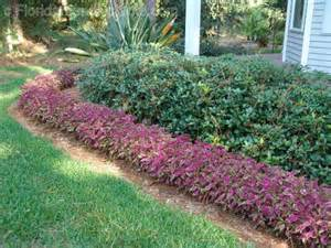florida friendly edging plants florida plants gardens pinterest seasons spreads and sun