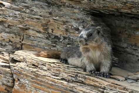 hoary color color spray hoary marmot