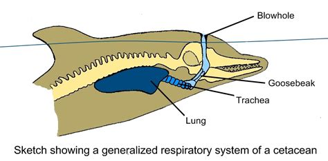 whale respiratory system diagram dolphin lungs related keywords suggestions dolphin