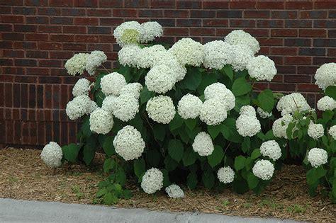 Gardening Tips For Summer - incrediball hydrangea hydrangea arborescens abetwo in hamilton burlington waterdown dundas