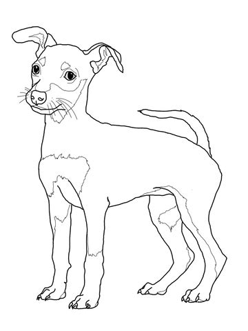 coloriage chiot pinscher nain coloriages 224 imprimer