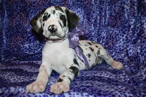 great dane puppies oregon oregon great danes great dane breeder woodburn oregon