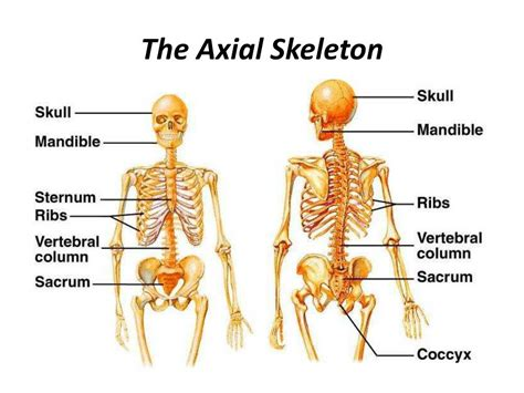 the human skull is divided into what two sections ppt the skeleton is divided into 2 parts powerpoint