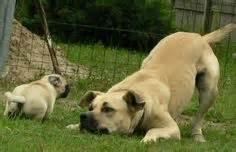 pug shepherd mix pug australian shepherd pugs