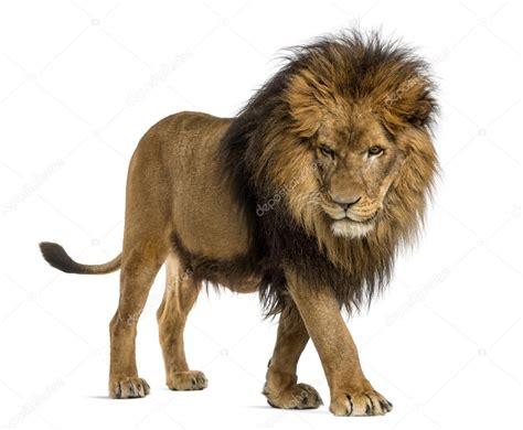 imagenes medicas amado de leon vista lateral de un le 243 n caminando mirando hacia abajo