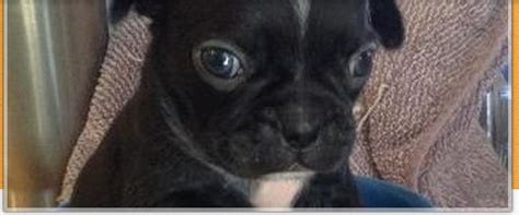 puppy spot scam how to spot a puppy scam don t be taken by others pugs chihuahua shihtzu puppys