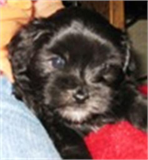 puppies for sale in beaumont tx peekapoo puppies for sale peekapoo breeders
