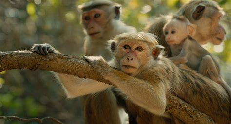 Disneynature's Monkey Kingdom - Official US Trailer 2 ...