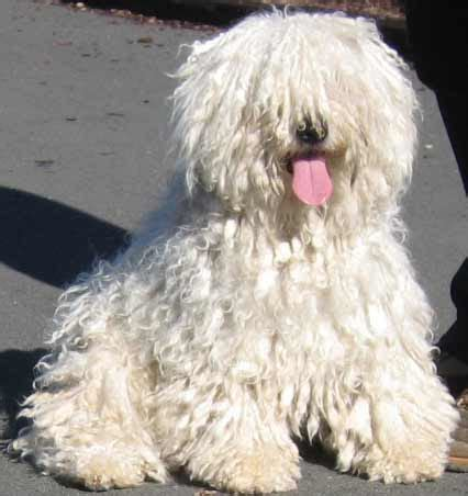 puli puppies puli puppies for sale in oregon or black white pulik for sale