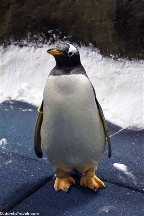 Traveller Pinguin i kissed a king penguin luxe advenutre traveler