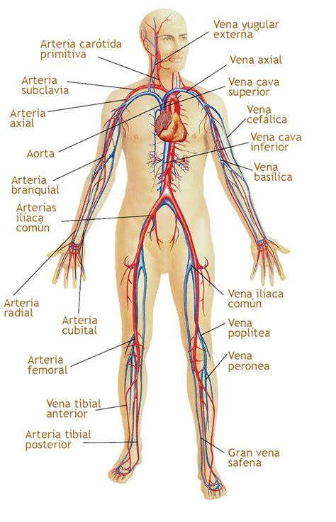 el sistema caged y el sistema circulatorio enfermedades y remedios caseros colegio ciencias sa 250 de