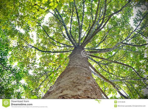 up tree tree looking up view stock photo image 51314545