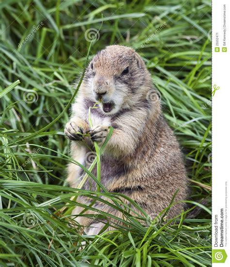 groundhog day instrumental groundhog stock image image 25552471