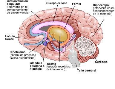 imagenes neuroanatomia pdf arm 243 nicos de conciencia un viaje al interior del
