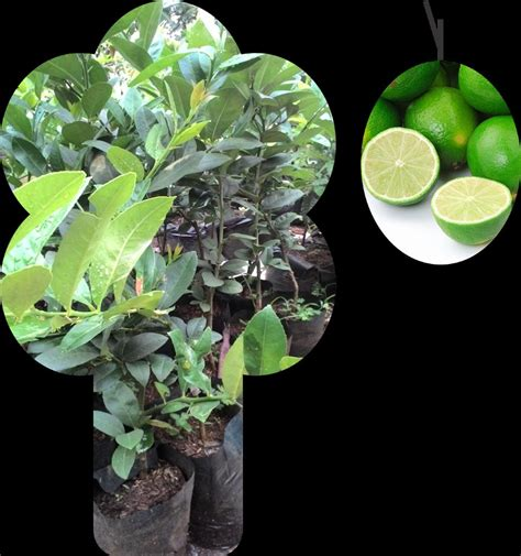 Jeruk Lemon Tanpa Biji 40 60cm jual bibit jeruk lemon tanpa biji di lapak kusnawan