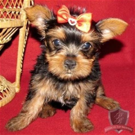 teacup yorkies for sale in ky yorkie puppies for sale for sale in elizabethtown kentucky breeds picture