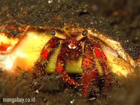 Cangkang Kapsul Rumput Laut Kapsul Kosong Rumput Laut hermit crab di lembeh bali foto wisuda