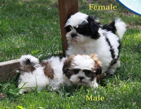 caring for 8 week shih tzu choosing shih tzu puppies for sale puppies for sale dogs for sale in ontario