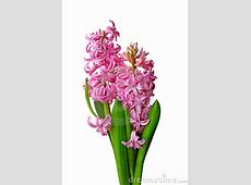 Hyacinthus clipart - Clipground Free Animated Clip Art American Flag