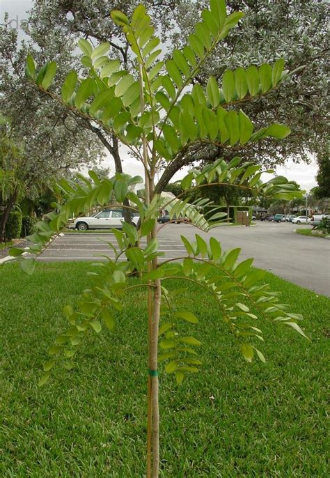 Trees Admirer simarouba glauca the free dictionary