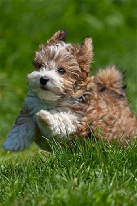 woodland havanese puppies woodland california and pets on