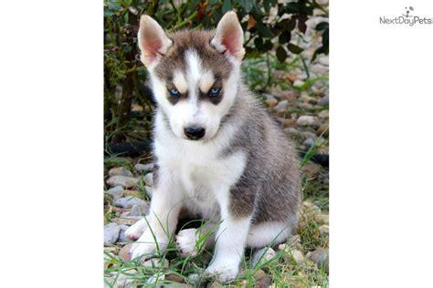 husky puppies dallas zeus siberian husky puppy for sale near dallas fort worth e29613f5 c911