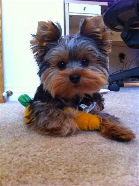 tea cup yorkie hair cuts 21 best yorkie haircuts images on pinterest yorkies