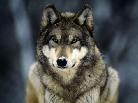 are wolves dogs they are dogs ancestors so why is there no support for wolves
