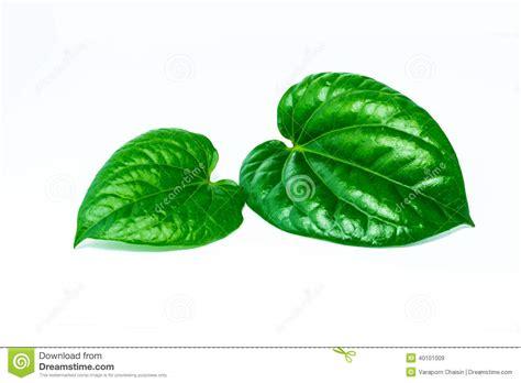Herborist Daun Sirih Pink 200ml piper betle leaves stock photo image 40101009