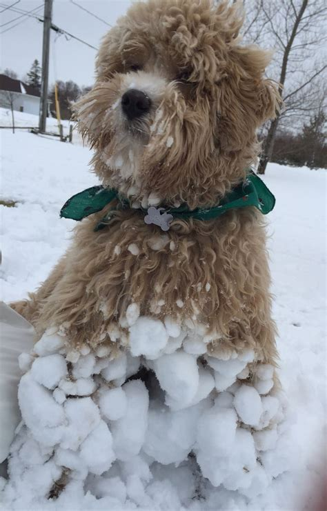 goldendoodle food top 25 ideas about goldendoodle on f1b