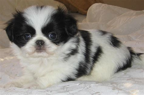 japanese chin puppies for sale japanese chin puppies dogs for sale in columbus macon ga athens