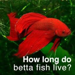 pin by betta fish pictures on betta fish pictures pinterest
