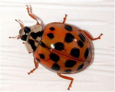 asian beetle simple steps keep pests outdoors toledo blade