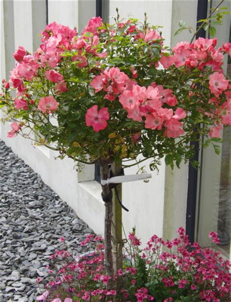 How To Care For Patio Roses by Growing Roses In Containers Bush Care For Beautiful