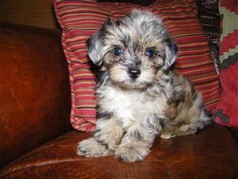 aussiepoo puppies teacup aussiepoo puppies for sale coupons in colbert pet services localsaver