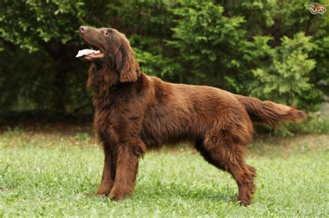 flat coated retriever excellence razas raza flat coated retriever animales hoy