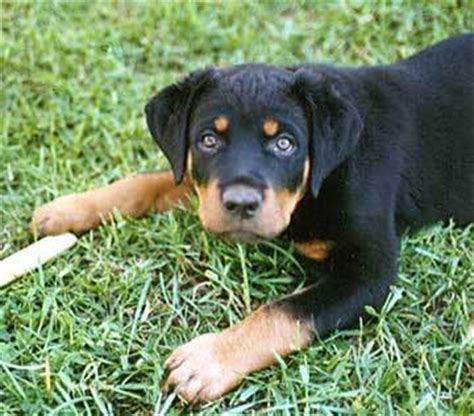 rottweiler pictures photo gallery rottweiler photos pictures rottweilers page 2 breeds picture